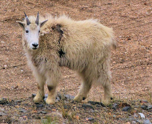 Mtn Goat Nanny
