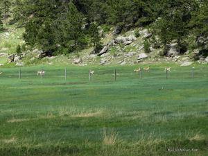 Pronghorn Juveniles