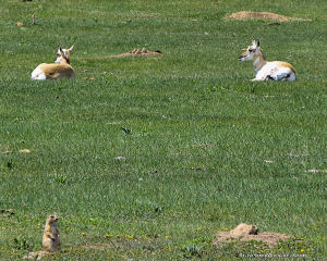 Pronghorns in Prairie Dog Town